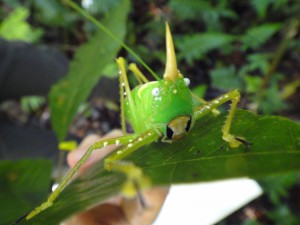 The rainforest brings something new every day. A unicorned grasshopper is at home on one of our study trees.