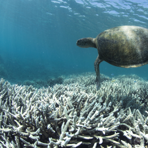 A sea turtle swims over a fully-bleached reef on Heron Island, the Great Barrier Reef.